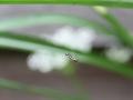 Keulenschwebfliege