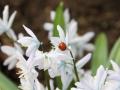 Marienkäfer auf Blausternchen