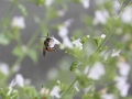 Steinquendel mit Wildbienen