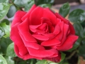 Rose Amboise