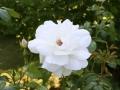 Rose Helga