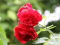 Rose bei Regen