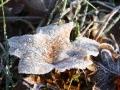 Frostiges Ahornblatt