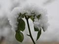 Rose bei Schnee
