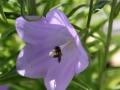 Glockenblume mit Wildbiene