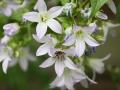 Waldglockenblume mit Wildbiene