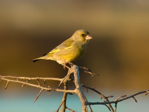 1019px-European_Greenfinch