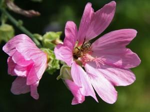 Biene in Buschmalve