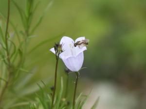 Wildbiene auf Glockenblume