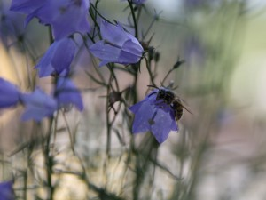 Wespe auf Glockenblume