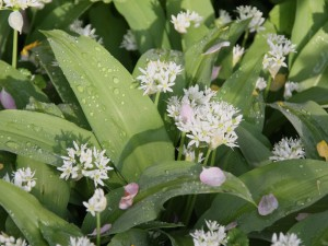 Bärlauch, Allium ursinum