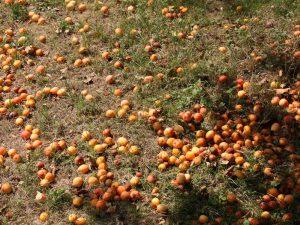 Zieräpfel auf vertrockneter Wiese