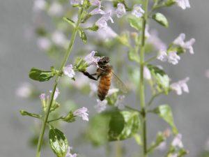 Biene auf Steinquendel