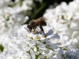 Biene auf Schleifenblume
