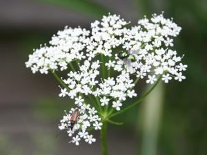 Käfer an Gierschblüte