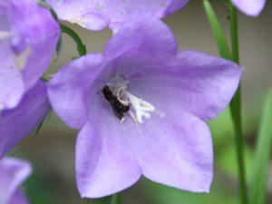 Wildbiene schläft in Glockenblume