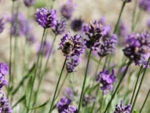 Lavendel mit Hummel