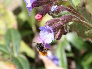 Lungenkraut mit Mauerbiene