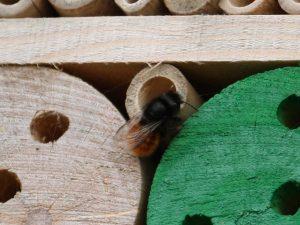 Eine Mauerbiene baut ein Nest in einem Bambusröhrchen in einem Insektenhotel.
