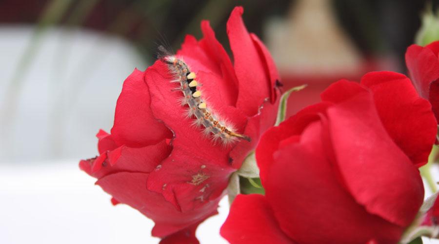 Raupe auf Rose