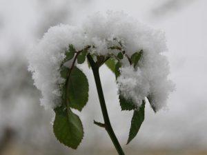 Rose, schneebedeckt
