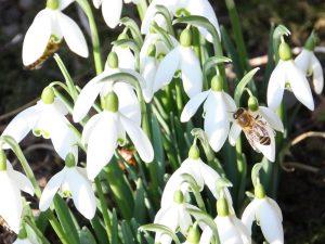 Schneeglöckchen mit Bienen