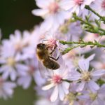 Septemberkraut mit Biene