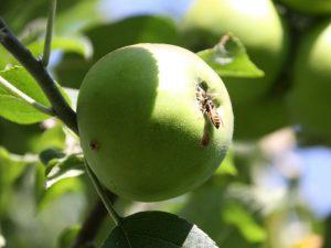 Wespe auf unreifem Apfel